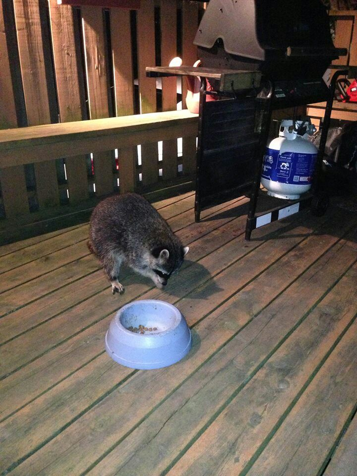 Raccoons show up at my back door every so often, possums too. My cats think they are funny looking cats.