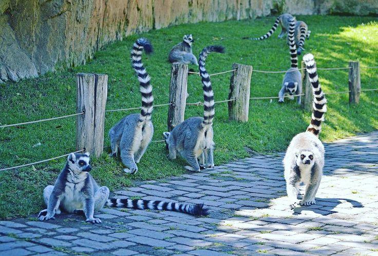 ¡#FelizFinDeSemana desde el corazón de África en el corazón de #Valencia! Foto: lémures de cola anillada en la isla de #Madagascar de #BioparcValencia | #Lemurs - #BIOPARC | #Bioparco #Биопарк #Валенсии #UnicoEnSuEspecie #ExperienciasBioparc #summer2017 #felizverano #felicesvacaciones #summervibes #summertime #felizFinde #ringtailedlemur #igersBioparc #igersValencia #ValenciaEnamora #ComunitatValenciana