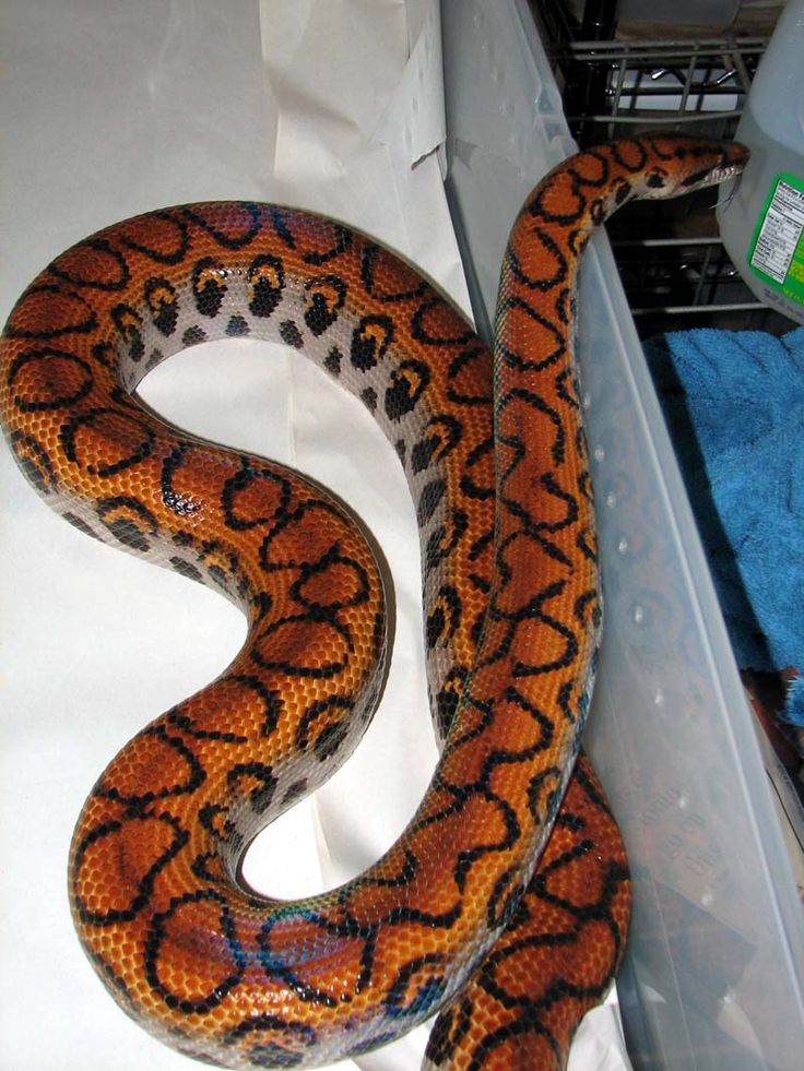 Brazilian rainbow boa  | This is Armstrong he is a family pet.