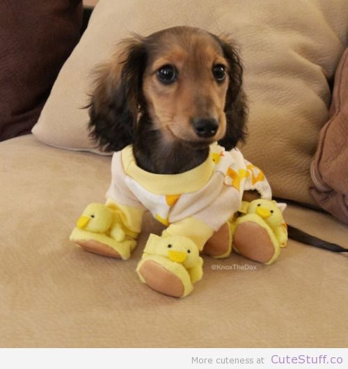 cutestuffco:  Possibly the cutest picture on the internet…(via Wiener Dog In Pajamas And Slippers)