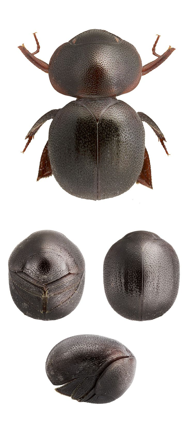 HEXAPODA - Classe Insecta (Cyphopisthes monteithi)