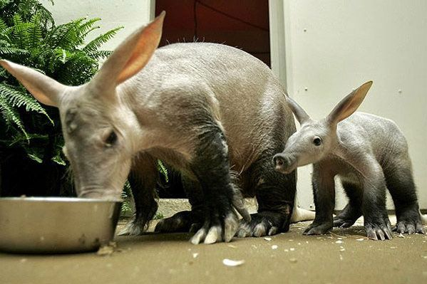 Aardvark: Not closely related to the South American Anteater, the aardvark is a a medium-sized, burrowing, nocturnal mammal native to Africa and is considered to be a living fossil whose closest living relative is the Elephant Shrew. In African folklore, the aardvark is much admired because of its diligent quest for food and its fearless response to soldier ants. It can consume up to 50,000 in one night with its sticky tongue and burrow 2' in 15 seconds! wikipedia. Photo by Scotto Bear…