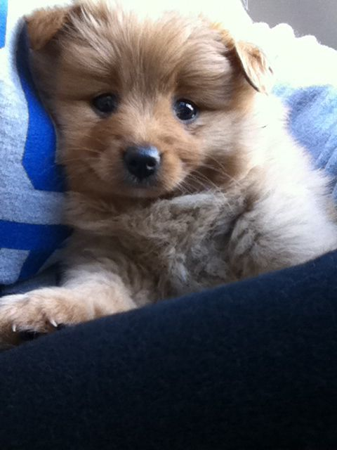 Pomeranian Poodle Mix Brown | www.imgkid.com - The Image ...