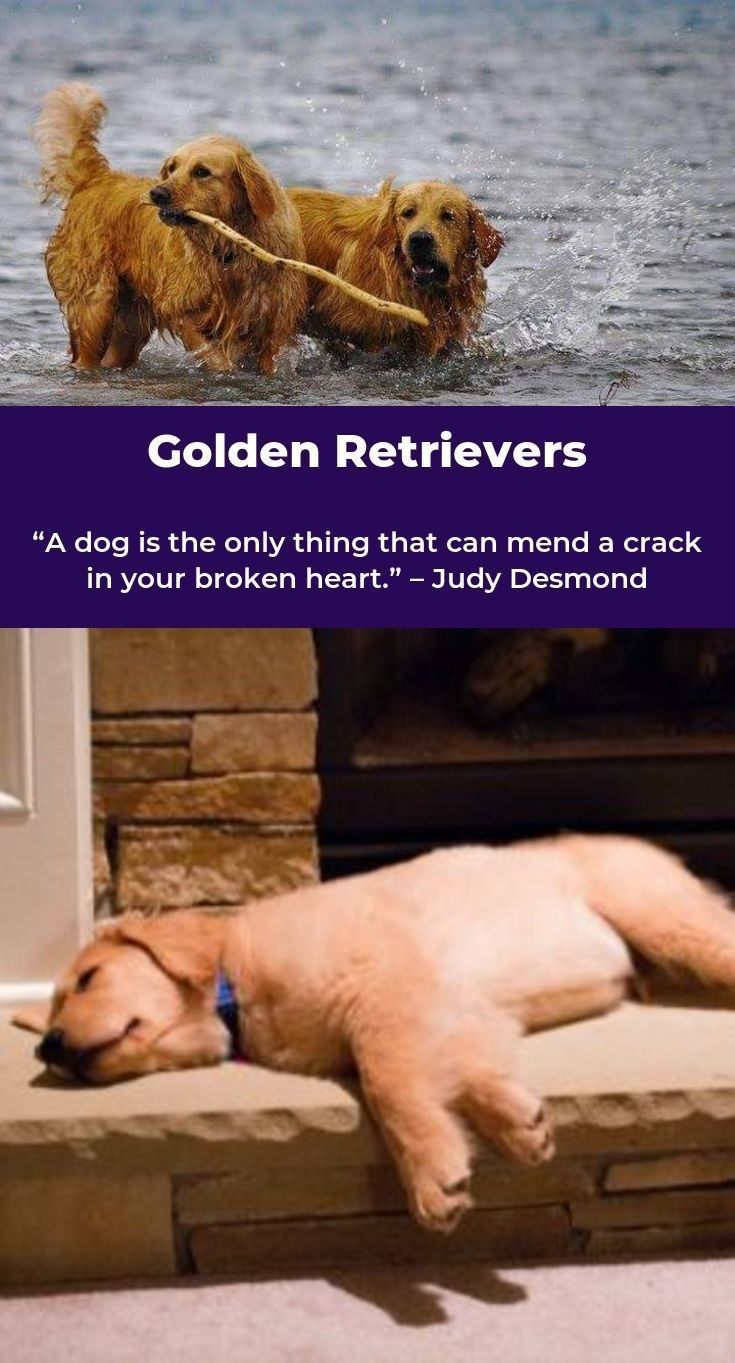Golden Retriever Pup Goldenretrieveroftheday