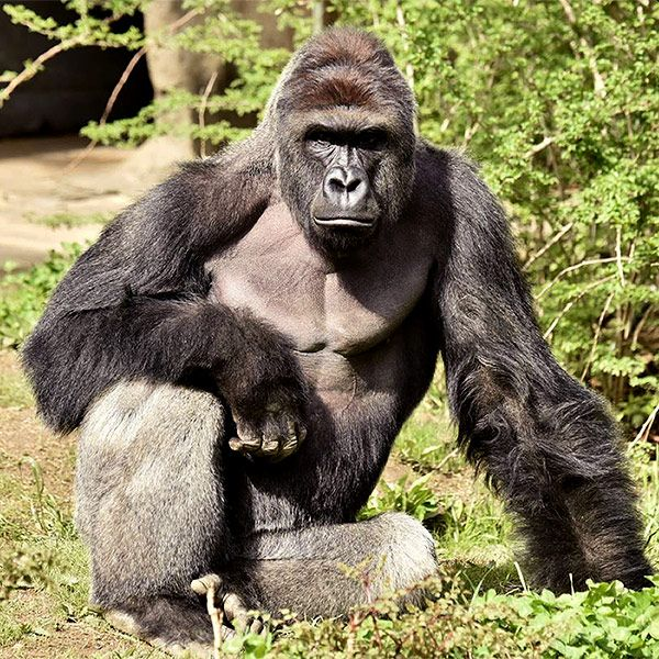What to Know About Harambe, the Gorilla Shot and Killed at the Cincinnati Zoo http://www.people.com/article/harambe-gorilla-killed-zoo-facts