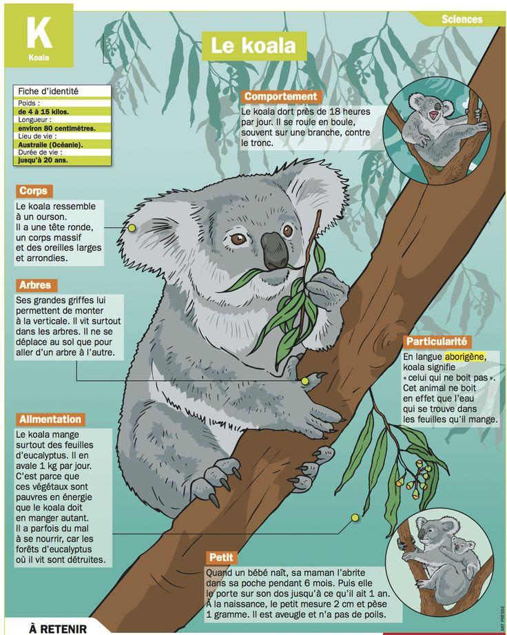 Fiche exposés : Le koala