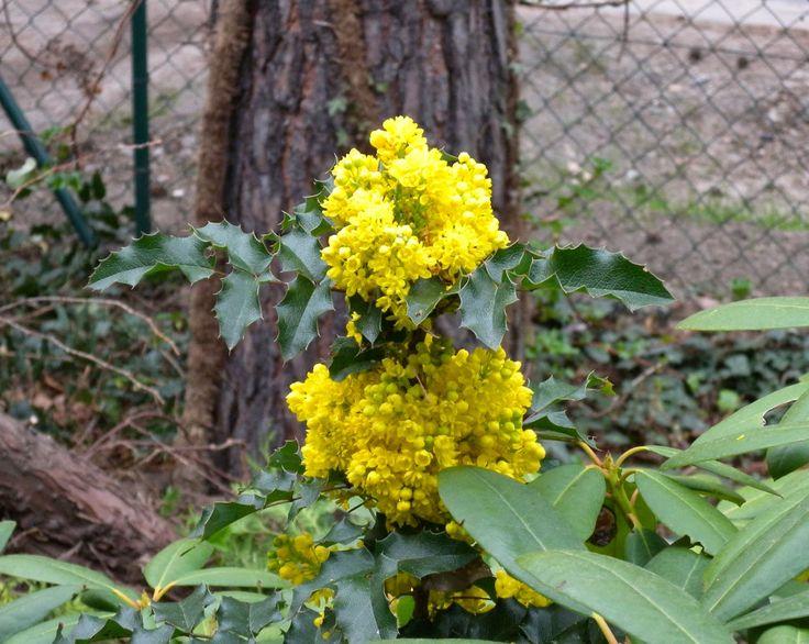 Mahonie als pflegeleichter strauch und fr hjahrsbl her einheimische pflanzen garten - Einheimische pflanzen im garten ...