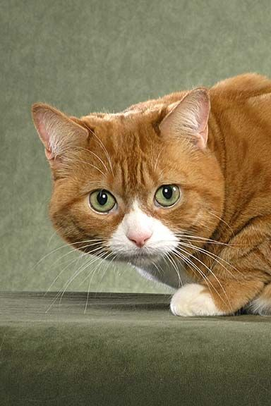 10 best manx cats imag...