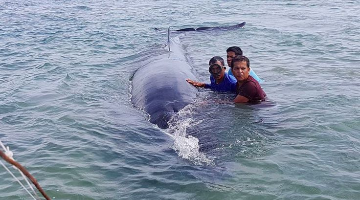 Whale beached in Palawan helped back to its ocean home #philippines #news http://ift.tt/1CijO2m