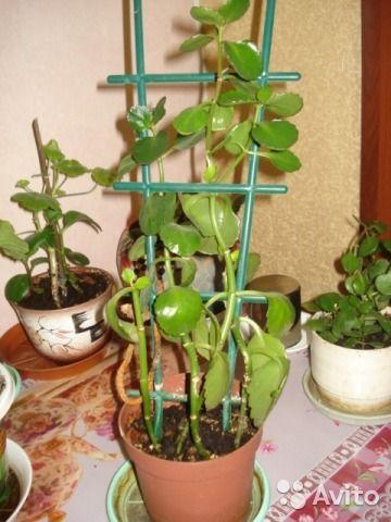 Комнатное растение необычное — фотография №5