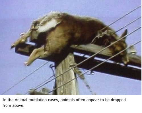 UFO DIGEST COM: UFO and Paranormal News From Around The World. After animal mutilation animals are dropped back to the ground, this one landed on the power pole.