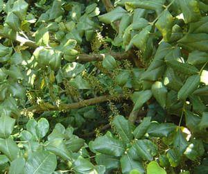 Trade Winds Fruit - Ceratonia siliqua - Carob, $2.00 (http://www.tradewindsfruit.com/ceratonia-siliqua-carob-seeds/)
