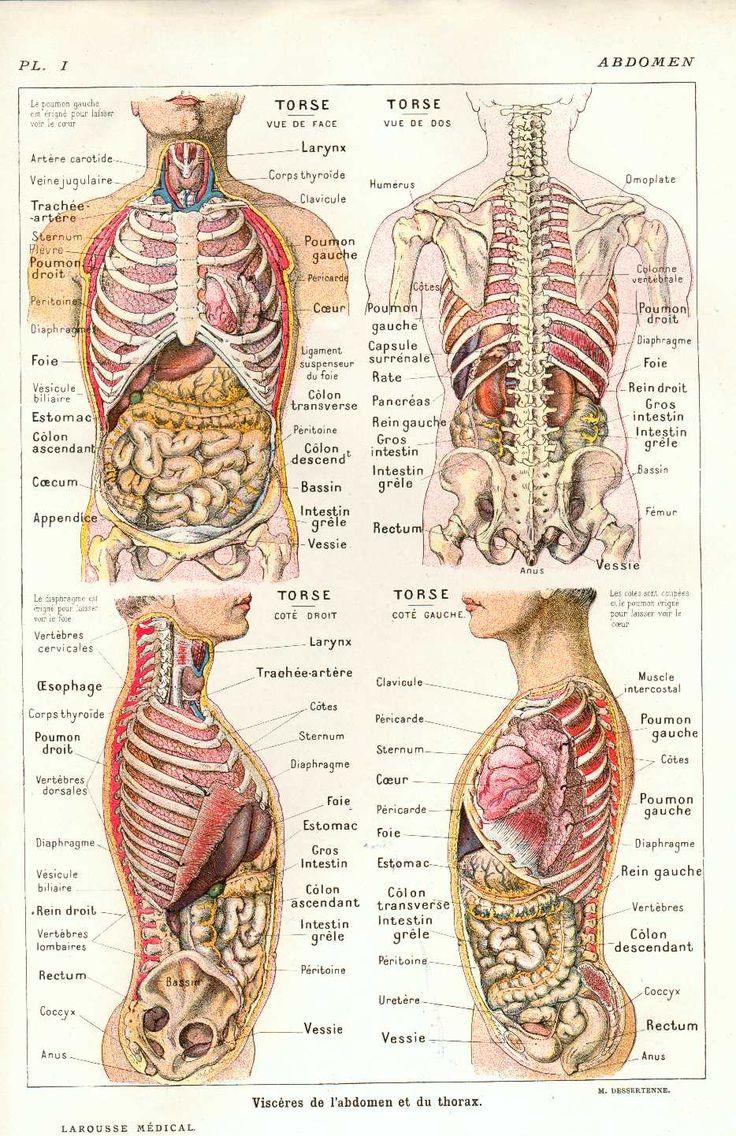 anatomique organes                                                                                                                                                                                 Plus