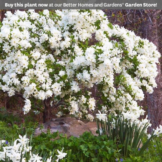 78 best spring shrubs bushes images on pinterest nature flowers new trees and shrubs for 2013 mightylinksfo