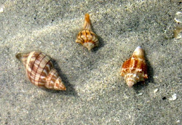 Live juvenile mollusks (tulip, lightning whelk, fighting conch), Sanibel Island, Florida.