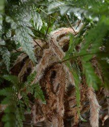 Indoor Rabbit Foot Fern care tips. Find out how to grow these easy indoor ferns as house plants. Ferns care, picture and profile.