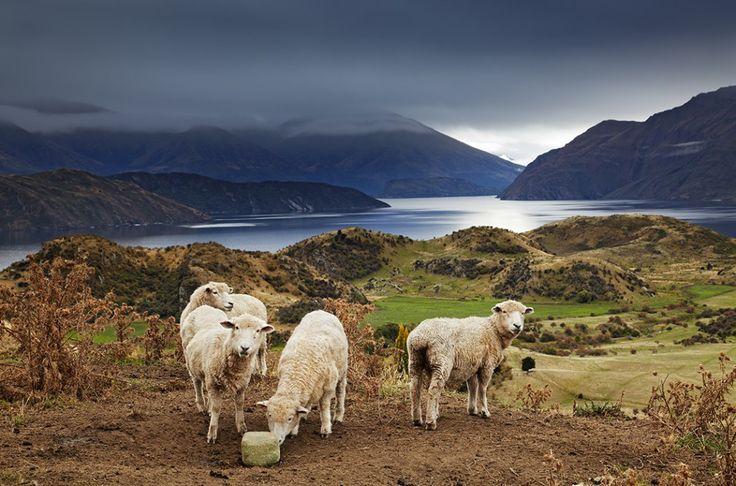 Sheep licking salt, Mount Roys, Wanaka, New Zealand