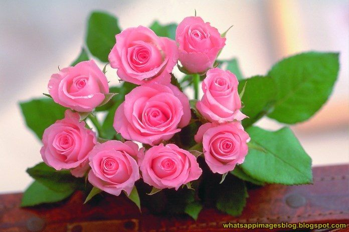 Rose Flowers Dp For Whatsapp Free Download Fresh In 2020 Beautiful Rose Flowers Flowers Dp Pretty Flowers