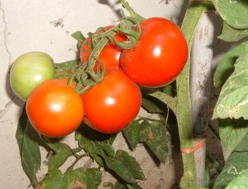 COLTIVARE POMODORI : Coltivare pomodori