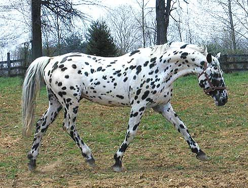 Knabstrupper.... a fairly rare breed of horse which most always has markings resembling an appaloosa.