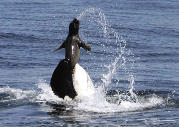 Killer Whale Attack Wh...