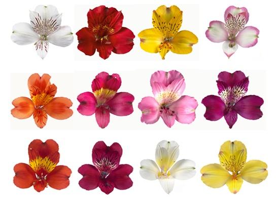 Alstroemeria / peruvian lilly flowers :D