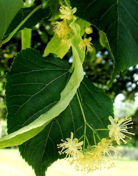 Tiglio: proprietà e preparazione dei rimedi naturali - Ambiente Bio