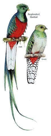Resplendent Quetzal.gif (180×473)