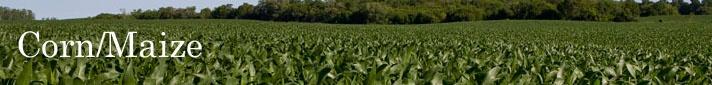 Corn (Maize) - Pioneer Hi-Bred Corn, Maize Information Page