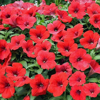 Petunia surfinia deep red it trails up to 8 feet so for Surfinia balcone