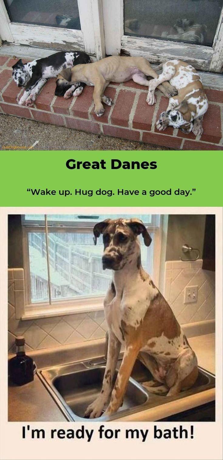 Great Danes Great Dane Great Dane Dogs Dogs Great Dane Puppy