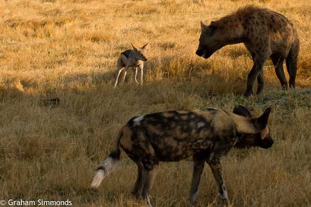 Solo, Mombo Camp's lone wild dog