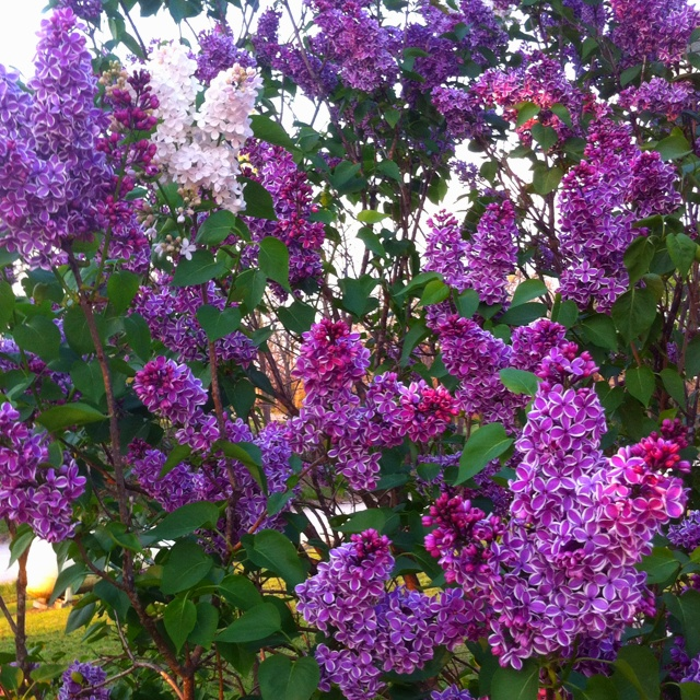 This is my giant lilac bush: it grows purple and white bloom clusters...heavenly scent;)