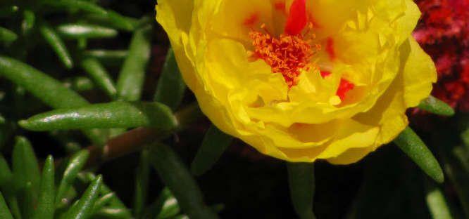 Portulaca grandiflora by dicentra63