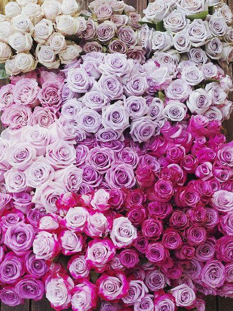 coming up roses | Flickr - Photo Sharing!