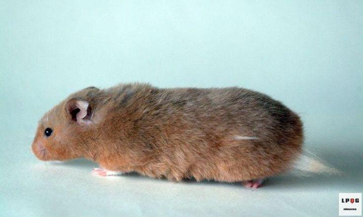 [LPQG Niouzes] 3 conseils pour adopter un hamster syrien qui demande lasile politique