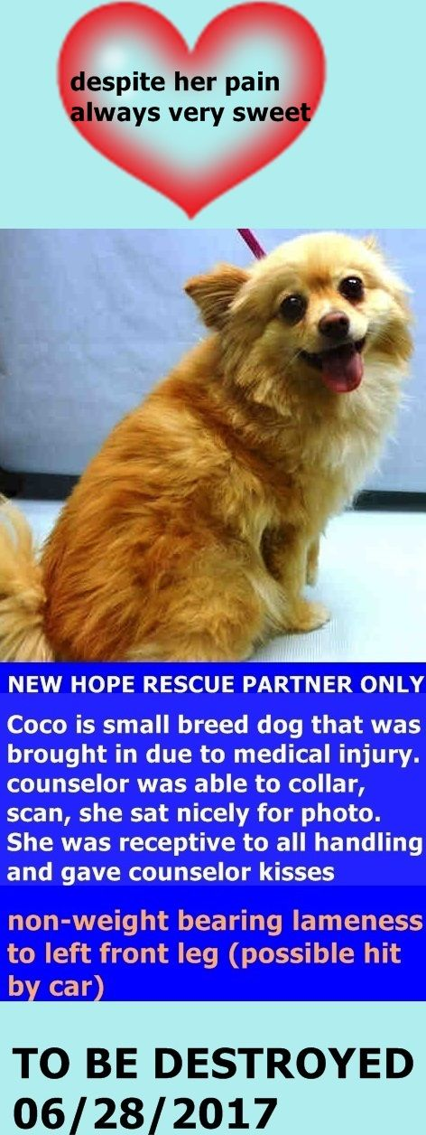 SUPER URGENT COCO – A1105448 **RETURNED 06/25/2017** SPAYED FEMALE, RED / WHITE, POMERANIAN MIX, 5 yrs STRAY –Reason PETINJURED Date 06/25/2017 http://nycdogs.urgentpodr.org/coco-a1105448/