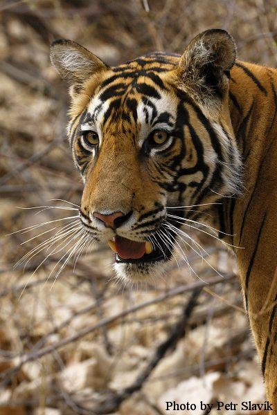 Fotograf divočiny Petr Slavík právě odjel za pruhovaným vládcem džungle i ostatními obyvateli nejkrásnějších národních parků Indie. Míří do Bandhávgarhu, parku s vůbec nejsilnější populací tygrů v zemi a do Kánhy, místa tajemných salových lesů a starých maharadžových loveckých altánů, které inspirovalo svou krásou Rudyarda Kiplinga k napsání příběhu chlapce vychovaného vlky - Knihy džunglí.
