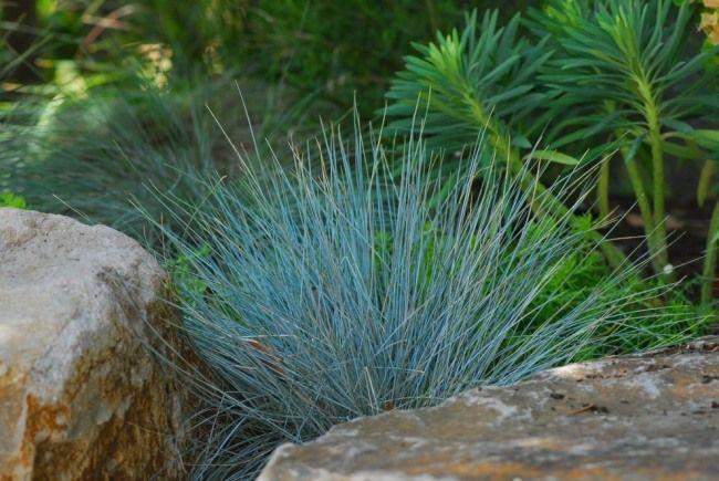 Steingarten anlegen-Tipps Pflanzenwahl-Ziergras Blau-Schwingel