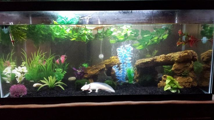 Best 25 axolotl tank ideas on pinterest fish tank for Fish tank care