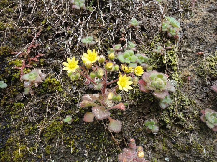 Planta protegida que consta da lista Convenção Berna e Directiva Habitats / Bern Convention and Habitats Directive: Aichryson dumosum