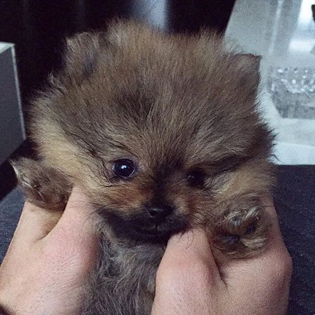 Hi   @novi_pom  Double tap to ❤️ Follow for more cute pics   @thedailypomeranian  Find us on Facebook - link in our bio  Follow our partner @cool.angel369_ ❤️ #pomeranian