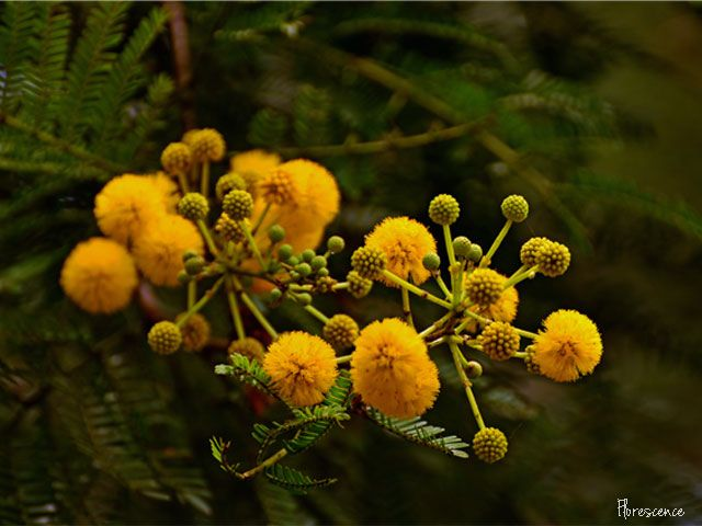 Acacia Karroo, Sweet thorn, Soetdoring, Fabaceae, Pod-bearing, plant,  indigenous, South Africa, exotic, flower, flora, floral, tree, yellow, Mimosoideae, pompoms , Pretoria, Gauteng, (c) Florescence Photography