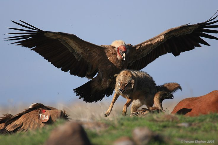 Largest bird of prey ever - photo#19