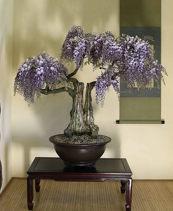 Wisteria Bonsai Seed Kit Bonsai Seeds Wisteria Bonsai Bonsai Trees For Sale