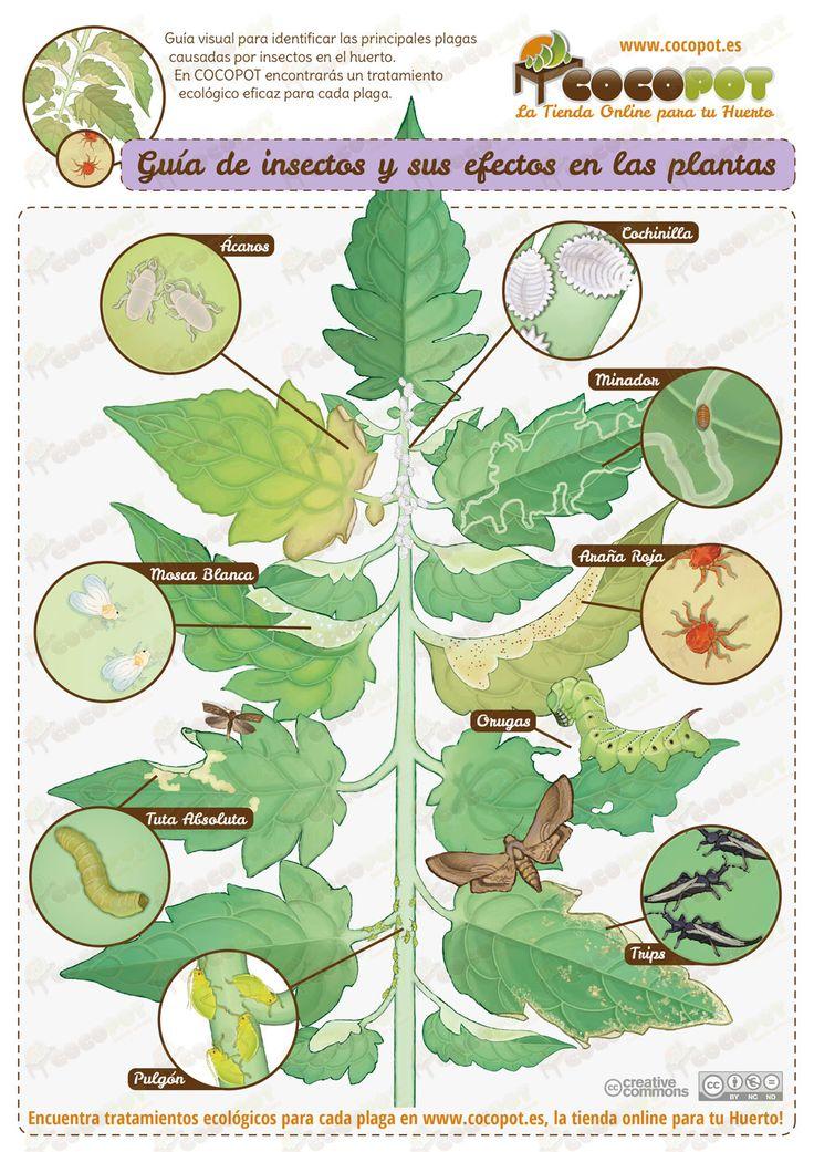 Guía visual para reconocer y detectar las principales plagas causadas por insectos en el huerto. En COCOPOT encontrarás un tratamiento ecológico eficaz para cada una de ellas. Nos ha llevado mucho trabajo realizarla, esperamos que os guste y gracias por compartir!