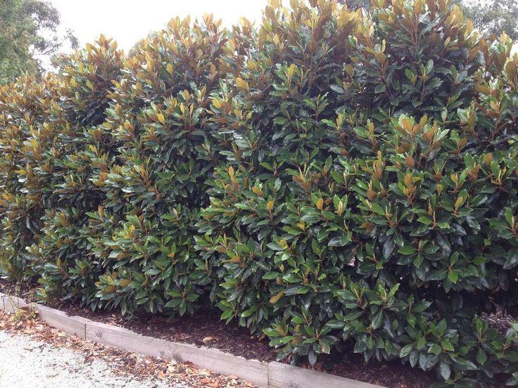 Magnolia grandiflora 'Little Gem' — Warners Nurseries. Moderate growing to 20 to 25 ft. tall, 10 to 15 ft. wide. Full sun. Evergreen.