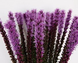 Callilepis - Liatris - Flowers and Fillers - Flowers by category | Sierra Flower Finder