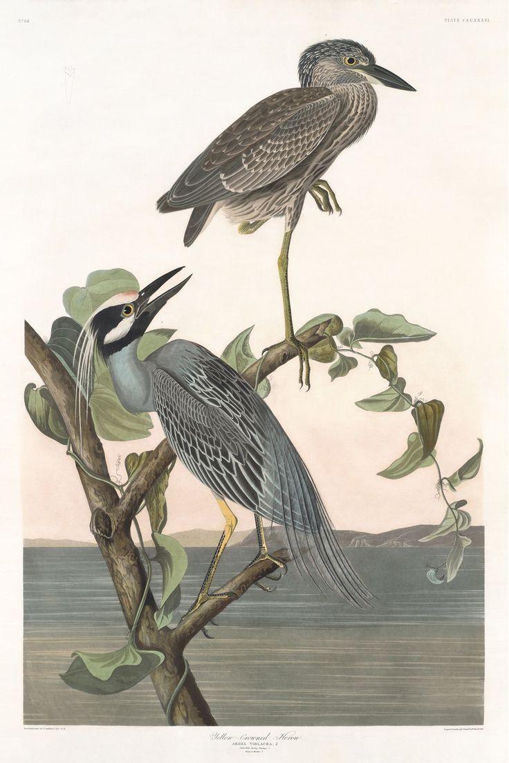 Rare Prints Yellow-crowned Heron