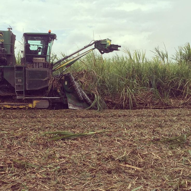 Out in the cane fields! #sugarcane #FNQ #tully